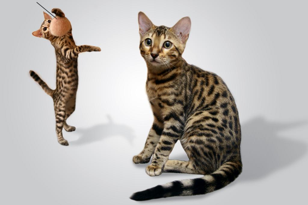 Бенгальская кошка bengal cat